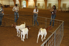 person judging goats in a pen